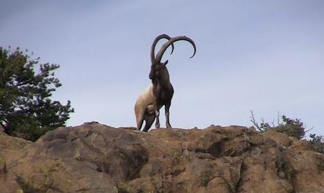 New Mexico Florida Mountain Persian Ibex Hunts
